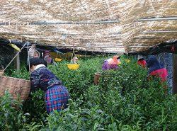 伝統本玉露(茶摘み)