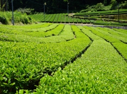 茶畑(煎茶)