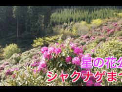 【八女市星の花公園】シャクナゲまつり(週末お出かけ情報)